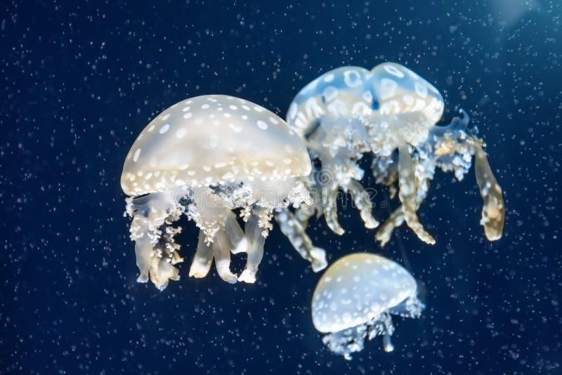 Kierdel jellyfish wśród głębokich wod morskich i bąbli, mikrokosmos fotografia royalty free