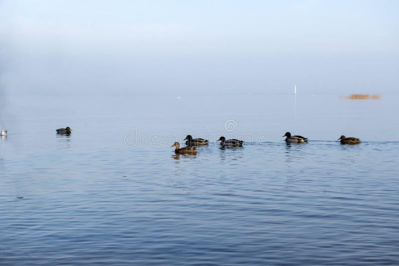 kierdel kaczki na wodzie przy świtem, jesień, zatoka Finlandia fotografia stock
