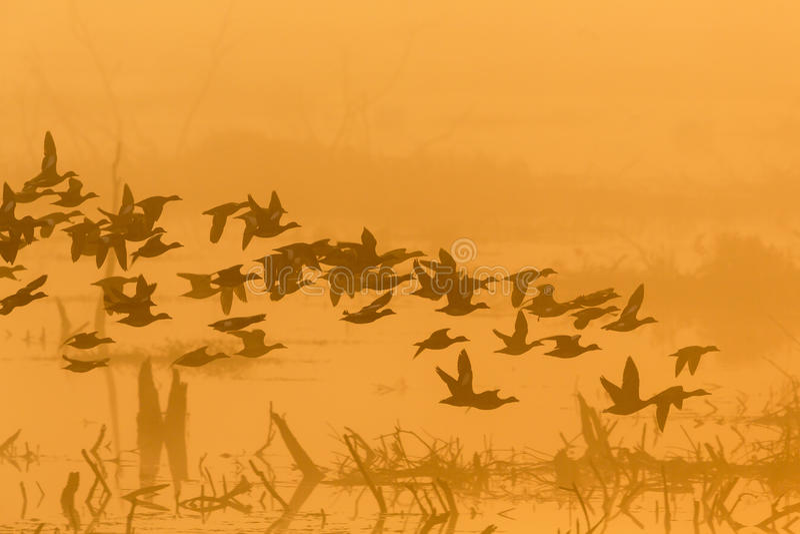 Kierdel kaczki przy świtem zdjęcie stock
