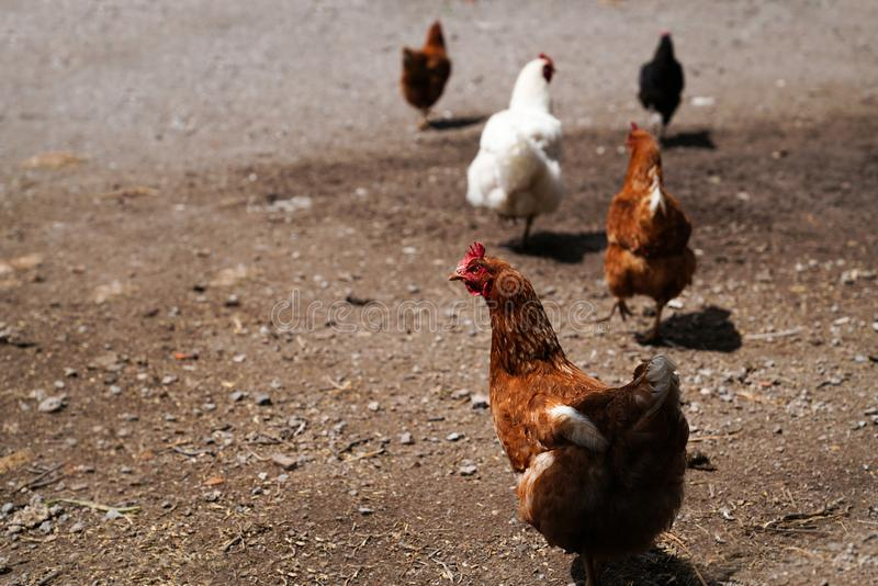 Kierdel kurczaki wędruje wolno obrazy stock