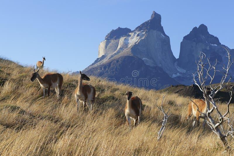Kierdel lama na flance wzgórze w Torres Del Paine, Chile Patagonia zdjęcia stock
