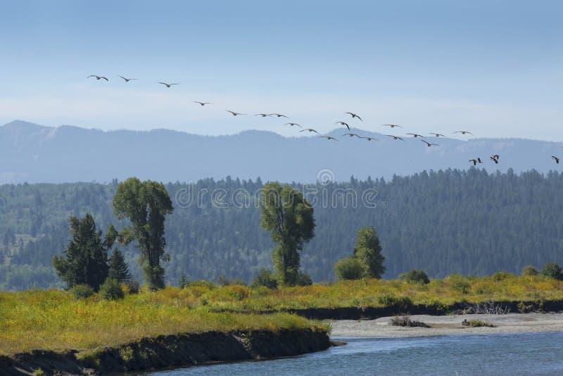 Kierdel lata nad Bawolią rozwidlenie rzeką gąski, Moran, Wyoming obraz royalty free