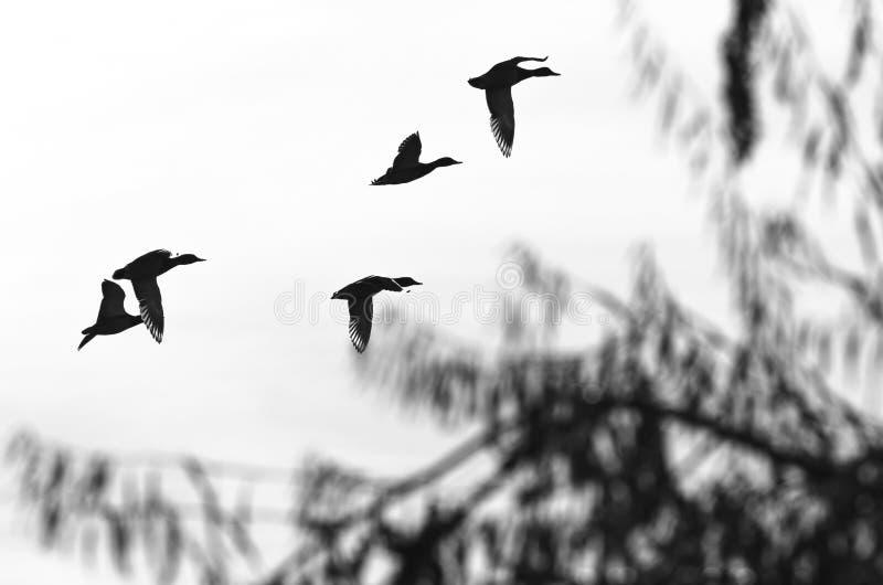 Kierdel latanie Nurkuje Sylwetkowego na Białym tle zdjęcia stock