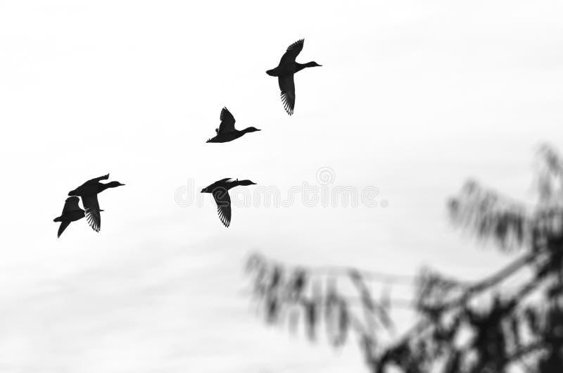 Kierdel latanie Nurkuje Sylwetkowego na Białym tle zdjęcie stock