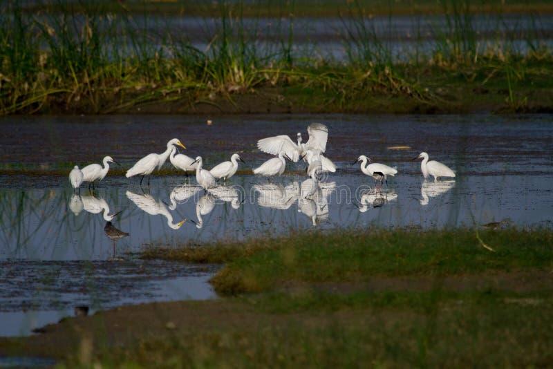Kierdel Mali i Średni egrets łowi w stawie obrazy royalty free
