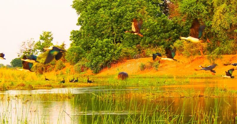 Kierdel ostroga uskrzydlał gęsiego bierze lot nad Zambezi rzeką obraz royalty free