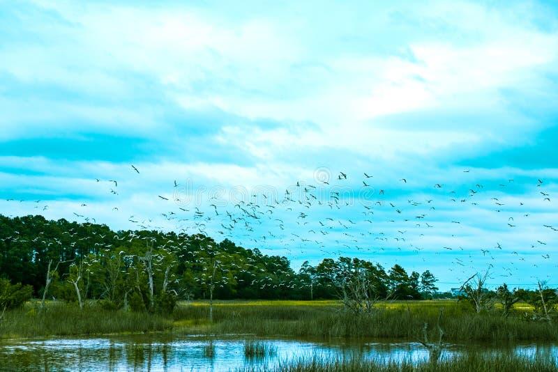 Kierdel ptaki lata nad południowym Carolina niskiego kraju bagnem na chmurnym dniu zdjęcia royalty free
