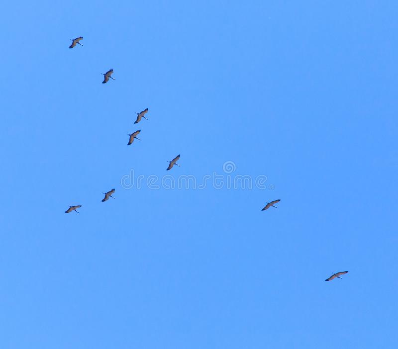 Kierdel ptaki migrujący przeciw niebieskiemu niebu zdjęcia royalty free
