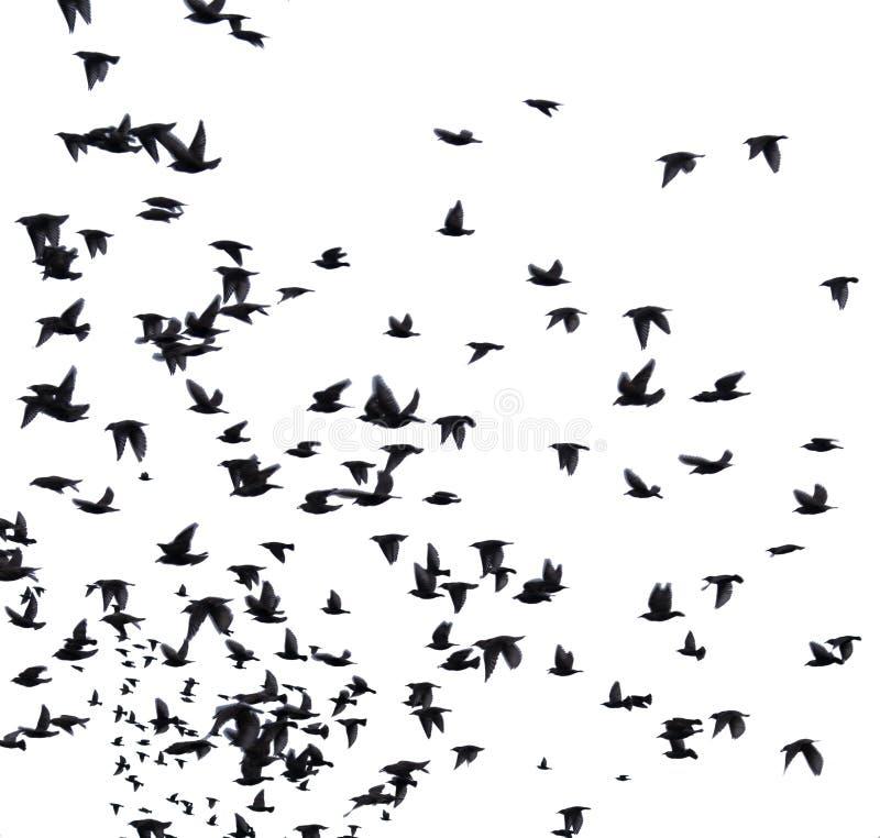 Kierdel ptaki migrujący zdjęcia stock
