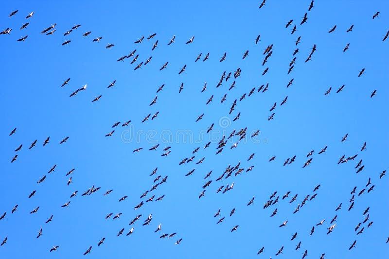 Kierdel ptaki migrujący lata na niebieskiego nieba tle Żurawie latają koszt stały fotografia stock