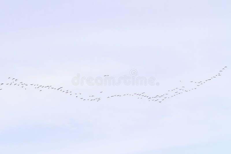 Kierdel ptaki migrujący lata w chmurnym niebie obraz royalty free