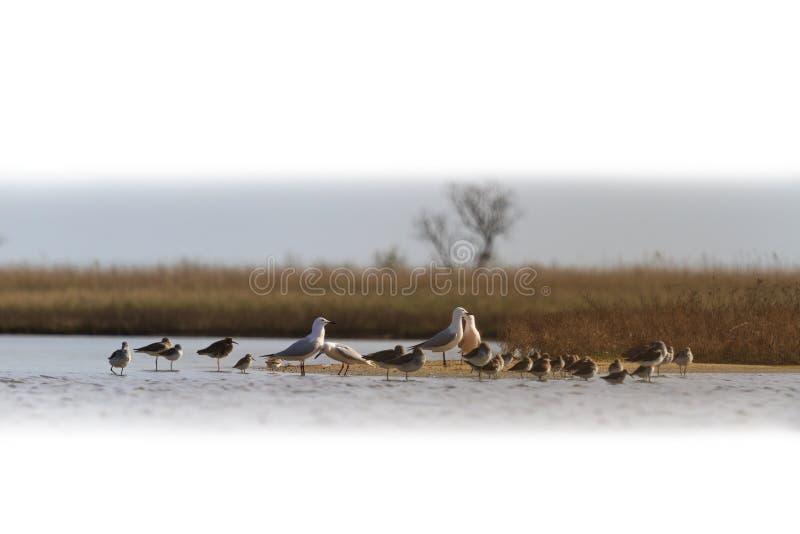 Kierdel ptaki migrujący odizolowywający na bielu zdjęcie stock