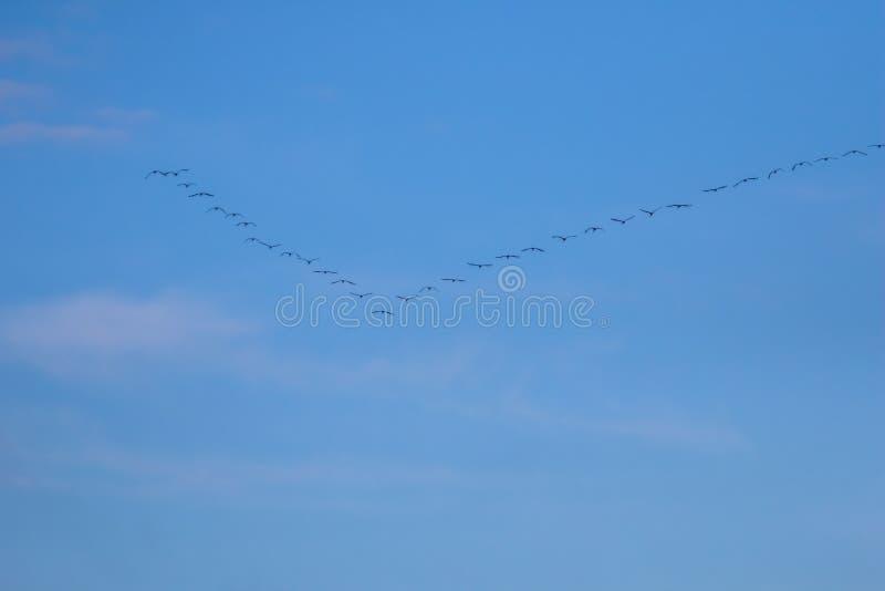 Kierdel ptaki migrujący przeciw niebieskiemu niebu obraz stock