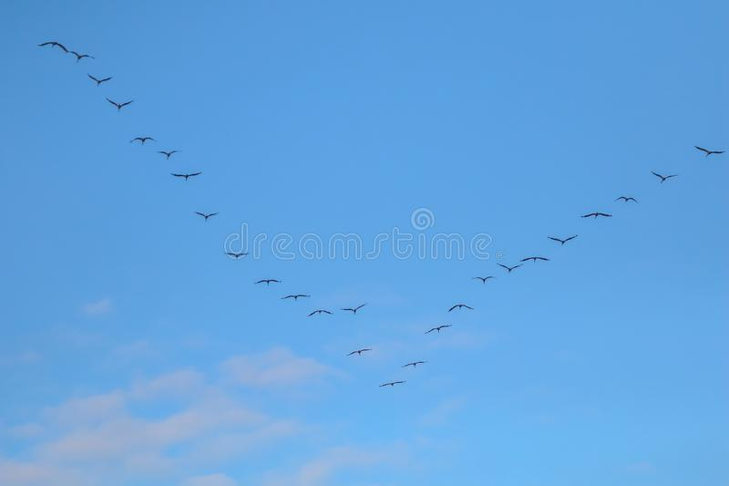 Kierdel ptaki migrujący przeciw niebieskiemu niebu zdjęcie stock