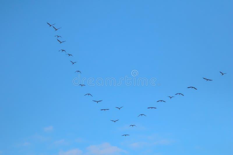 Kierdel ptaki migrujący przeciw niebieskiemu niebu obrazy stock