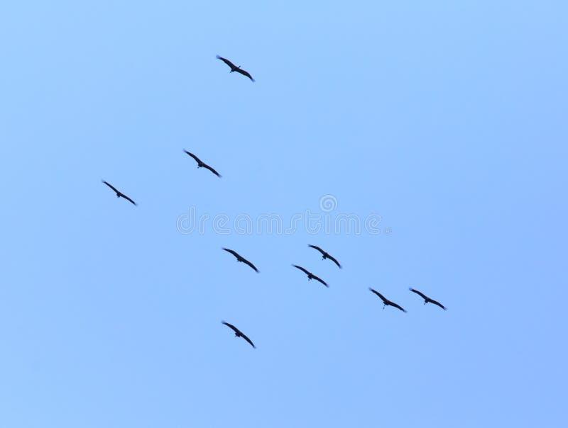 Kierdel ptaki migrujący przeciw niebieskiemu niebu fotografia royalty free