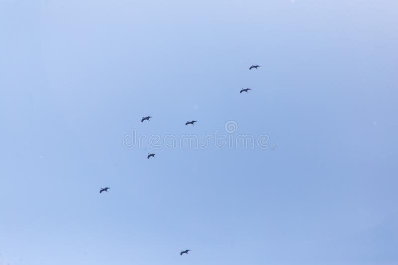 Kierdel ptaki migrujący przeciw niebieskiemu niebu obraz royalty free