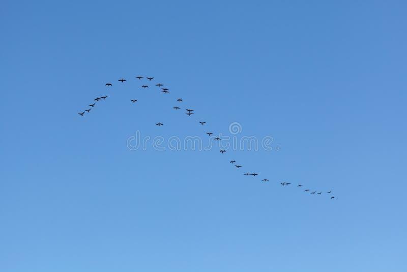 Kierdel ptaki migrujący w niebie Naturalny tło obrazy stock