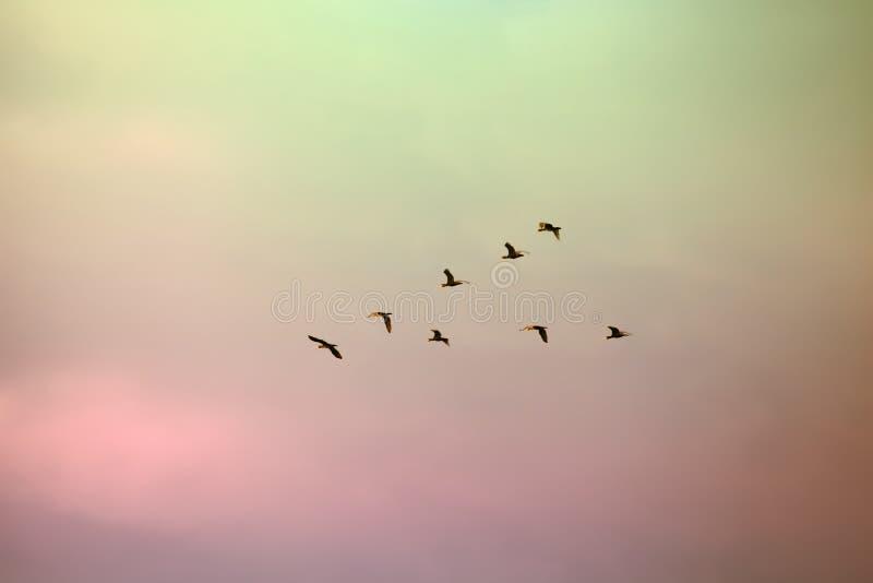 Kierdel ptaki migrujący wykładał up w V formaci obrazy royalty free