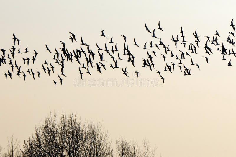 Kierdel ptaki migruje południe. zdjęcia royalty free