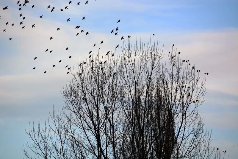 Kierdel ptaki Opuszcza drzewa obrazy stock