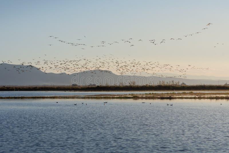 Kierdel ptaki przy wschód słońca w naturalnym parku Albufera, Walencja, Hiszpania obrazy stock