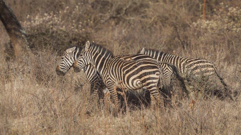 Kierdel równiny zebra w łące fotografia stock