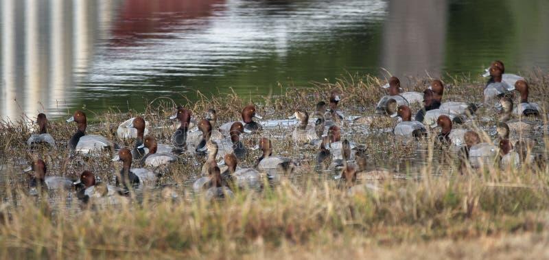 Kierdel rudzielec kaczki kaczory i karmazynki, Gruzja usa zdjęcie stock