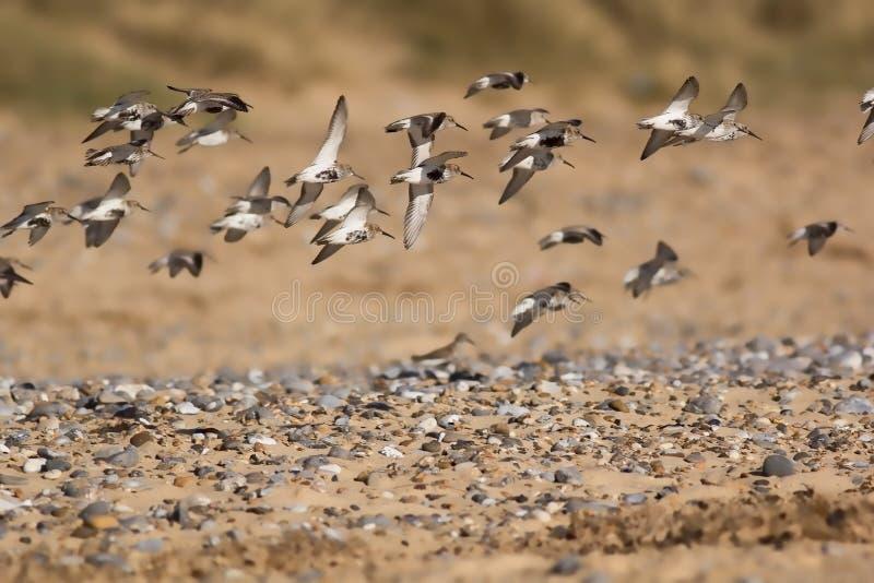 Kierdel sandpiper ptaki lata nad otoczak posypującą plażą wybiórka zdjęcia stock