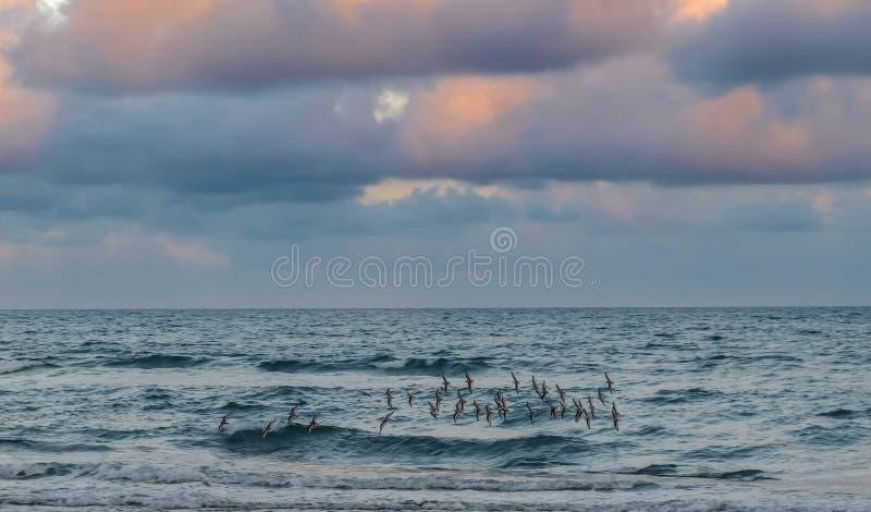 Kierdel sandpipers nad Atlantycką ocean plażą fotografia royalty free