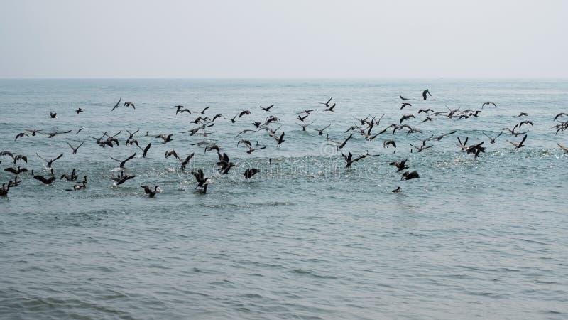 Kierdel seabirds w locie w zatoce bengalskiej zdjęcia royalty free