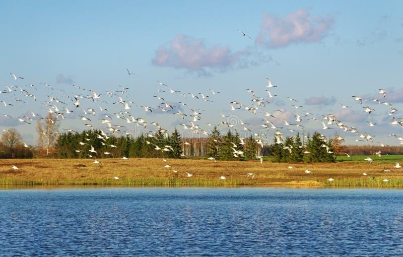 Kierdel seagull fotografia royalty free