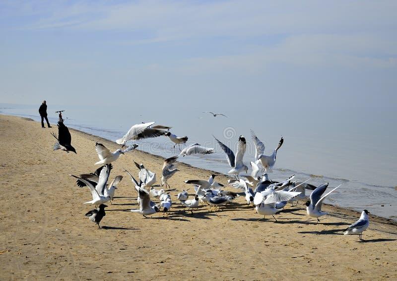 Kierdel seagulls, Yurmala, Latvia zdjęcie royalty free