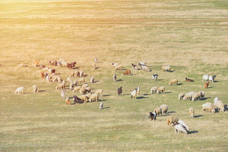 Kierdel sheeps i kózki przy zmierzchem w sprintime na łące, niebo trutnia widok obraz stock