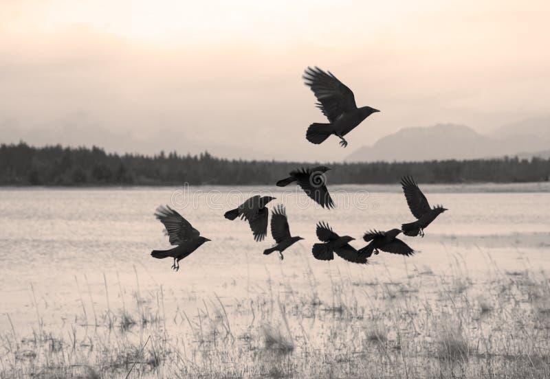 Kierdel wrony poruszające dalej fotografia royalty free