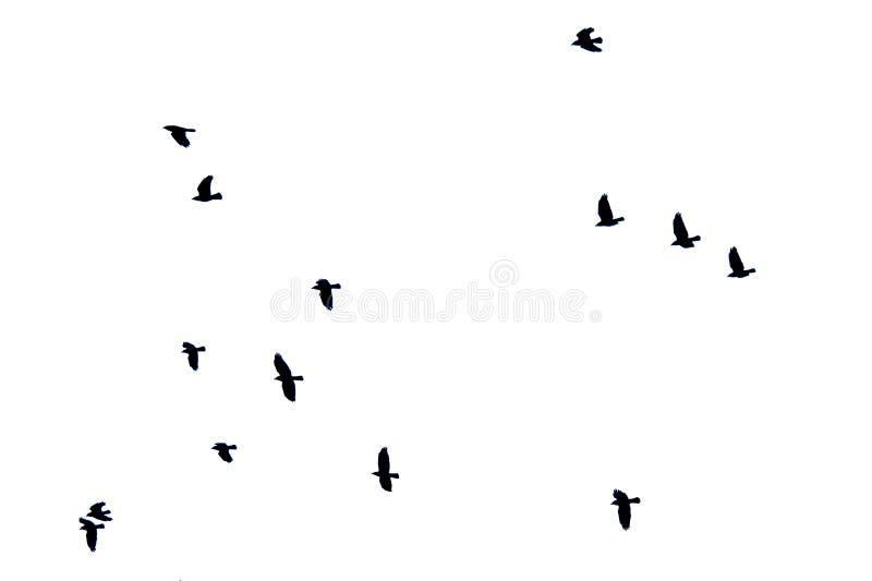 Kierdel wrony w locie odizolowywającym na białym tle fotografia royalty free
