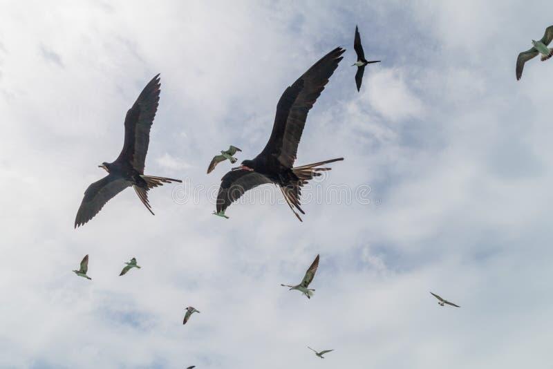Kierdel Wspaniali frigatebird Fregata magnificens przy Caye doszczelniacza wyspą, Bel obrazy stock