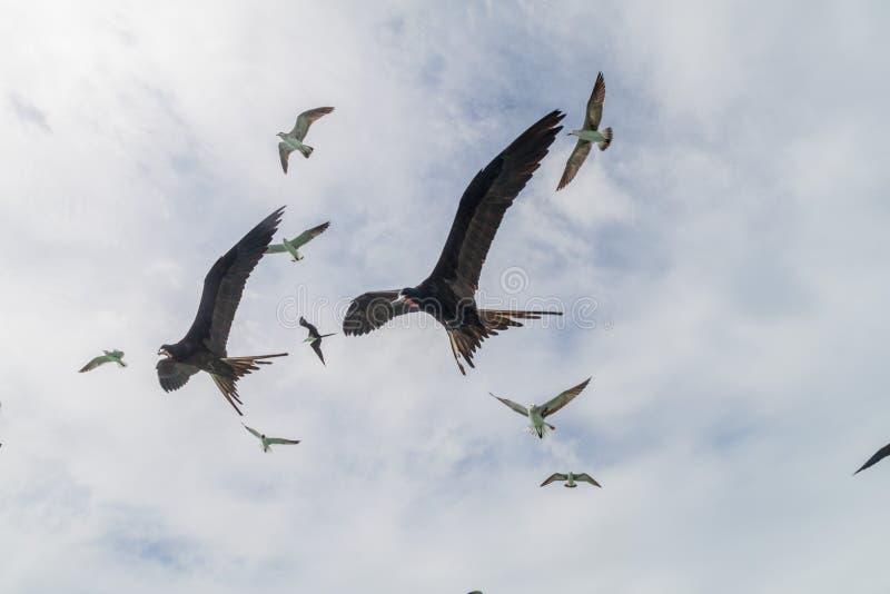 Kierdel Wspaniali frigatebird Fregata magnificens przy Caye doszczelniacza wyspą, Bel obraz royalty free