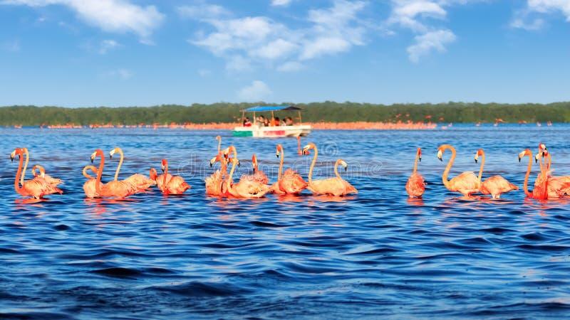 Kierdle różowi flamingi i turystyczna łódź w Celestun parku narodowym Meksyk yucatan obrazy stock