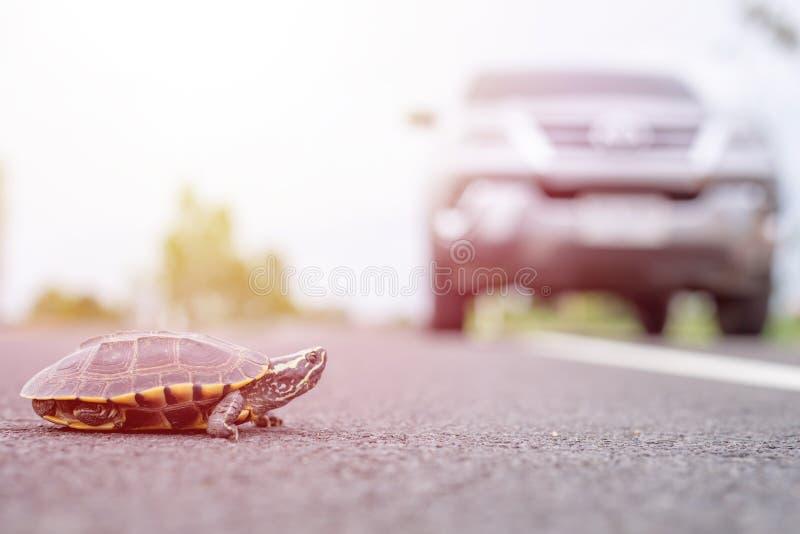 Kierowca zatrzyma samochód, żeby żółw szedł po drodze Bezpieczeństwo i ostrożność podczas prowadzenia pojazdu fotografia stock
