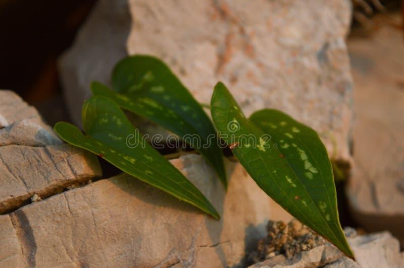 Kierowi kształtni liście, miłość symbol w naturze zdjęcie stock