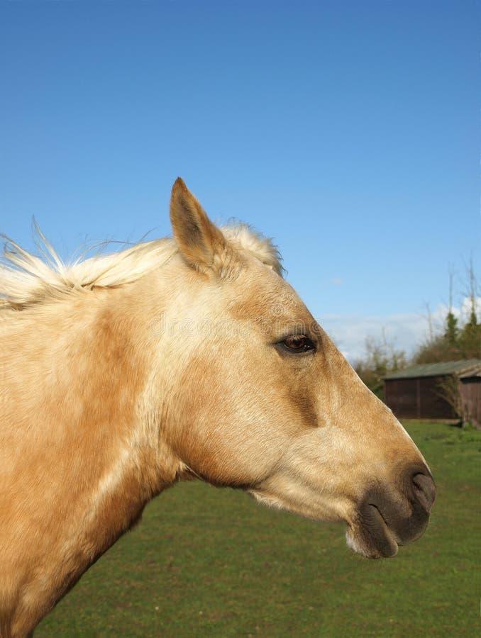 kierowniczy koń obrazy stock