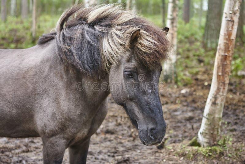 Kierowniczy koń w Finlandia lasu krajobrazie Zwierzęcy tło obraz royalty free