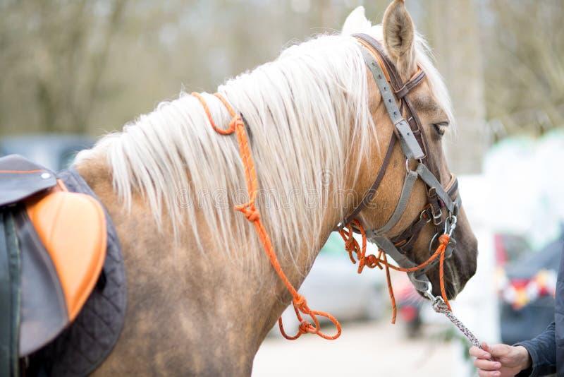 Kierowniczy koń w nicielnicie zdjęcie royalty free