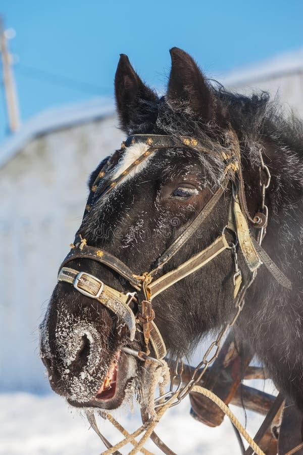 Kierowniczy koń z nicielnicą zwierzę obrazy stock