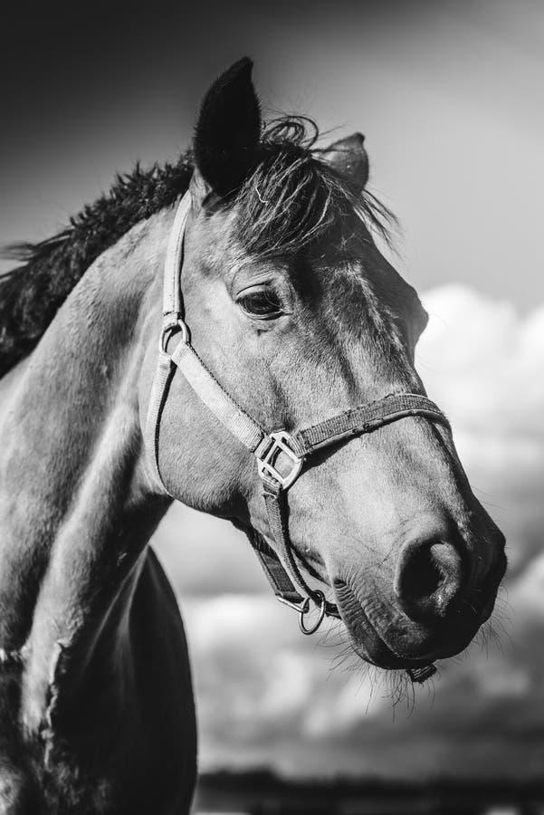Kierowniczy zbliżenie końska pozycja na łące, na gospodarstwie rolnym w słonecznym dniu czarny white obraz royalty free