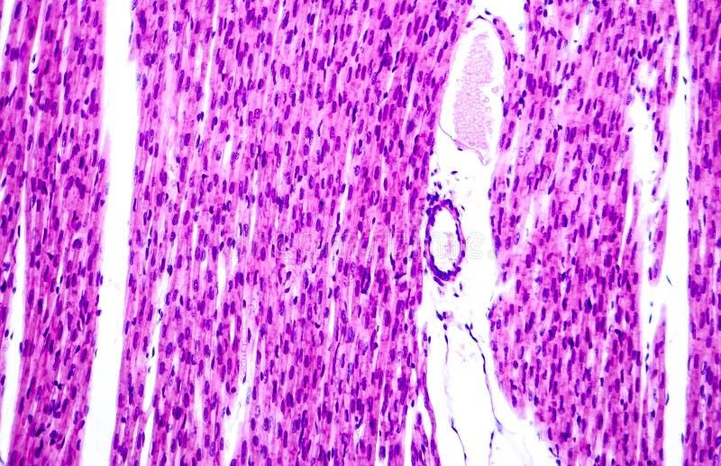 Kierowy mięsień, lekki micrograph obraz royalty free