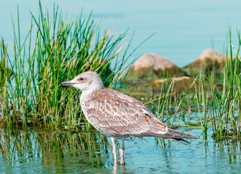 Kies grijze zeemeeuwvogel uit lopend in blauw water met groene gras en rotsen Mooie heldere natuurlijke landschaps horizontale ba royalty-vrije stock fotografie