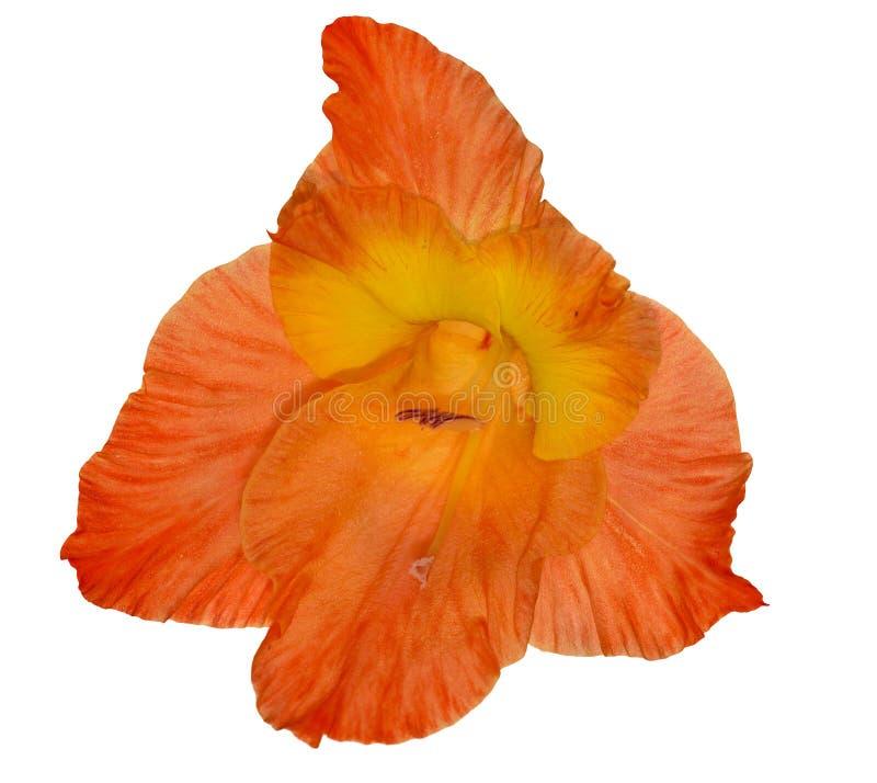Kies heldere oranje die gladiolenbloem uit op wit wordt geïsoleerd royalty-vrije stock foto