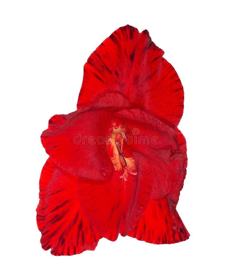 Kies heldere rode gladiolenbloem uit die op wit wordt geïsoleerd royalty-vrije stock afbeeldingen